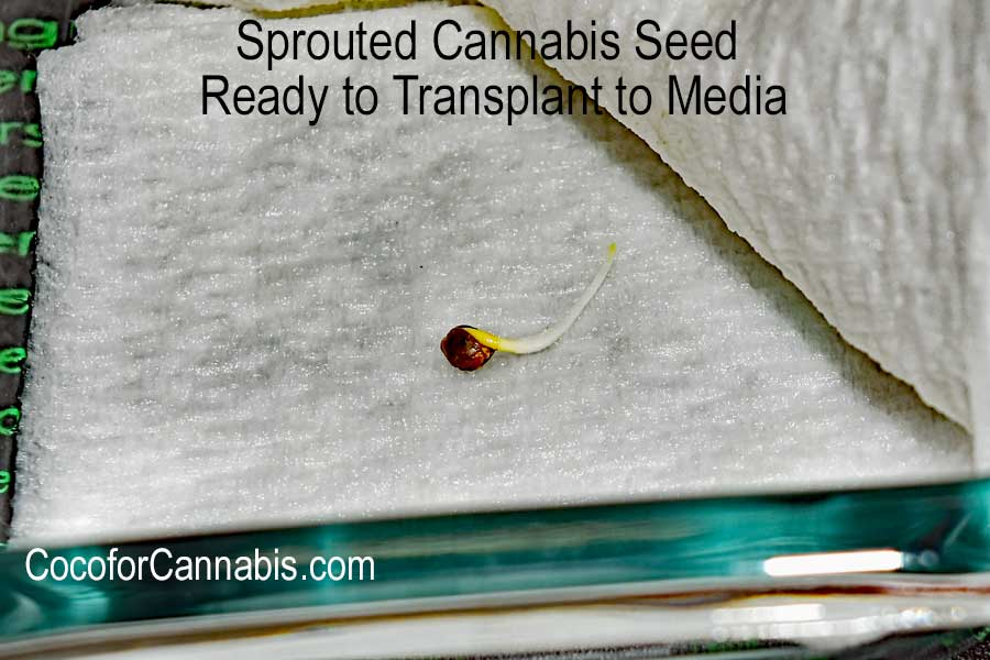 Cannabis Sprout with tail ready to transplant