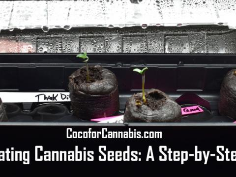 Germinating Cannabis seeds step by step guide
