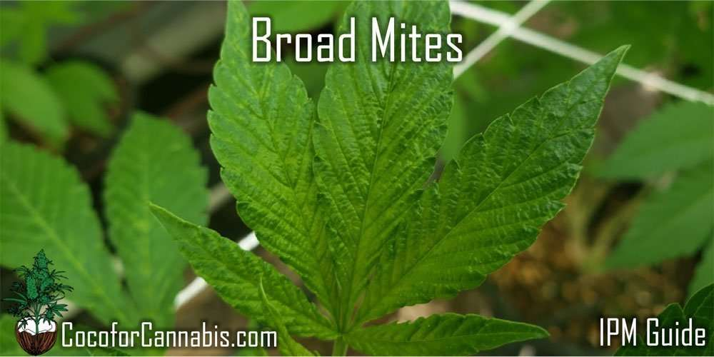Broad Mites on Cannabis Plants