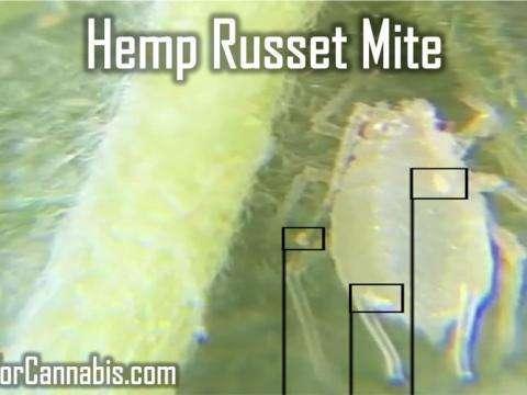 common pest hemp russet mite
