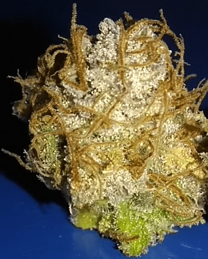 Coco for Cannabis Photo of the Week, Afghan Skunk