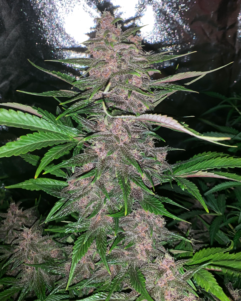 Coco for Cannabis Photo of the Week, Blackberry auto