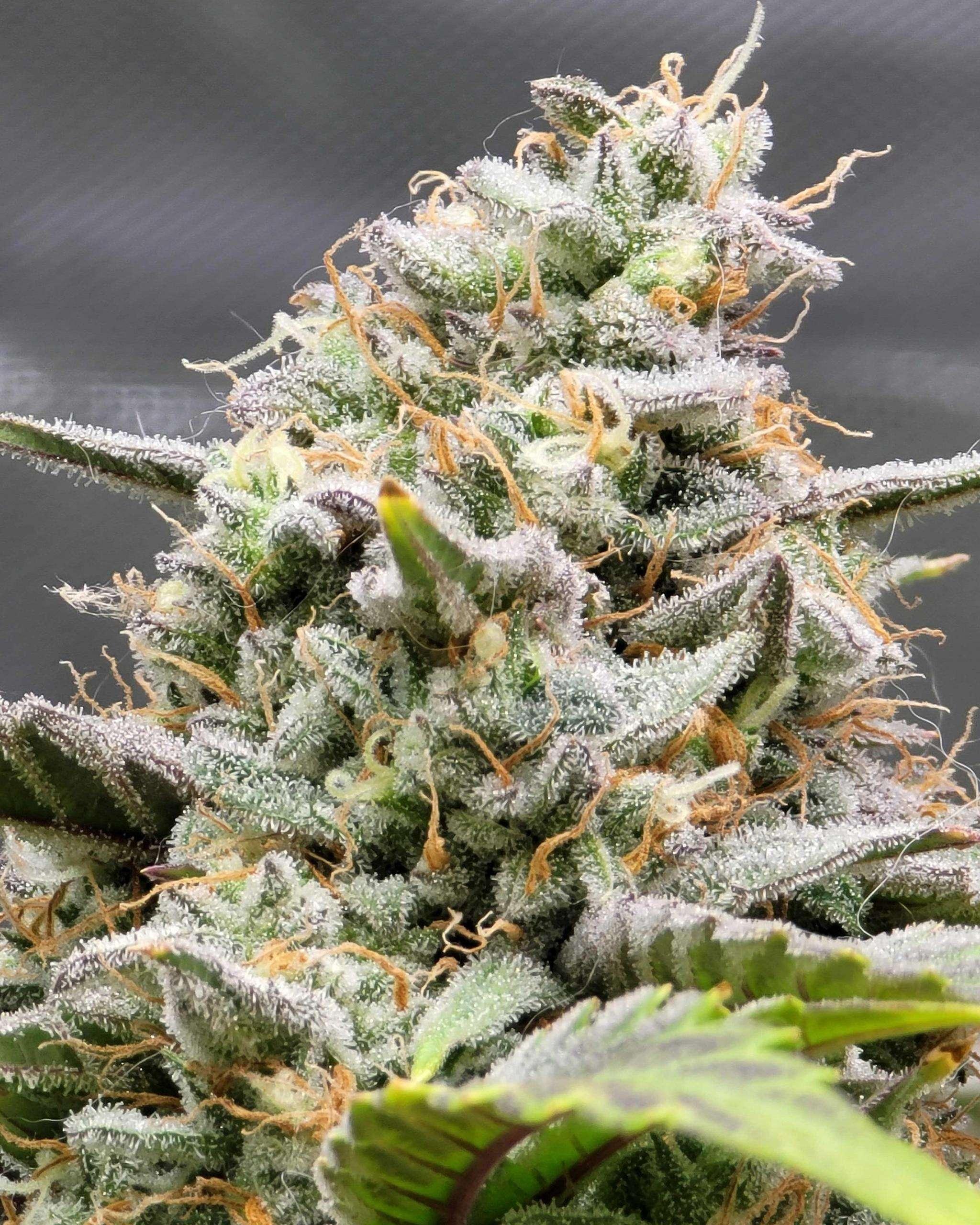 Coco for Cannabis Photo of the Week, 3 bears OG x Double Grape