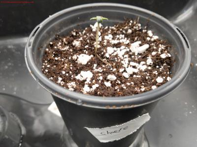 Cannabis Grow Day 5 Cheese Transplanted