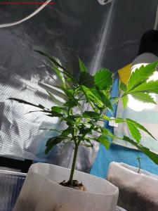 Cannabis Grow 9.21 self topper structure
