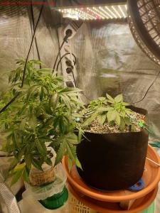 Cannabis Grow 10.5 sisters from different misters