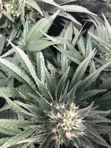 Cannabis Grow MJ1