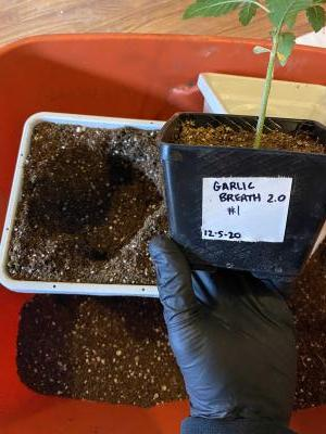 Cannabis Grow 63DAD0E4 DE69 4CB6 82C9 14717F8AB00A
